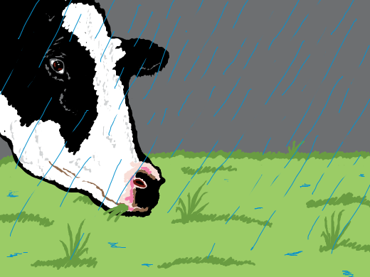 A cow eats grass even in the rain to make us good milk.